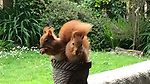 Pictured: A couple were stunned when they were joined by some unexpected dinner guests - a heartwarming scurry of nine red squirrels.   For many Britons, spotting a single red squirrel is a rare sight as the animals can only be found in a handful of places in the UK, with a population of just 120,000.<br /> <br /> The introduction of the larger grey squirrel - which carry a disease killing native reds - from North America by the Victorians in the 1800s led to a drastic decline in their population and they are now protected.   But couple Erik and Ima Van Dam, who have been enjoying dinner on their veranda during lockdown, were lucky enough to have nine of them join them.   SEE OUR COPY FOR DETAILS<br /> <br /> © Solent News & Photo Agency<br /> UK +44 (0) 2380 458800