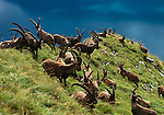 Alpine Ibex, Interlaken, Alps, Switzerland