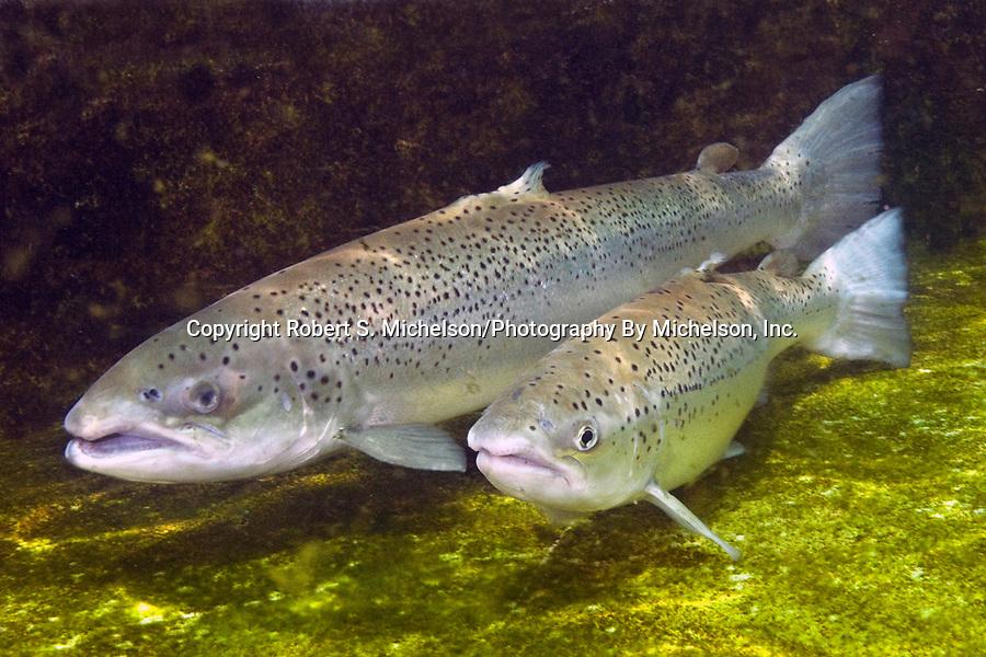 Sea-run Atlantic salmon male and female at base of dam
