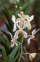 Asie/Singapour/Env. de Singapour: Ferme de culture d'orchidées - Détail orchidée