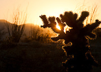 Teddy Bear Cholla Cactus.