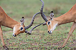 Male Impala (Aepyceros melampus) fighting / sparring. Serengeti National park, Tanzania. March 2015