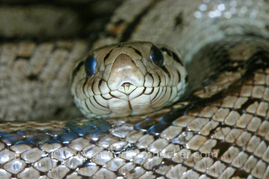 Treppennatter, Treppen-Natter, Rhinechis scalaris, Elaphe scalaris, Ladder snake
