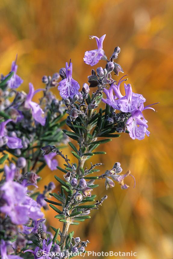 Fragrant drought tolerant herb, Rosmarinus officinalis-Blue flowering rosemary with orange grass