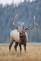 Elk, Wapiti, Cervus elaphus, bull calling, bugling,  Yellowstone NP,Wyoming, USA