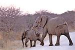 Elephants On Road, Hwange Natl. Park