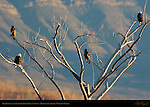 Bald Eagles and Yearling Juveniles at Sunset, Bosque del Apache Wildlife Refuge, New Mexico