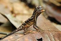 Anolis Lizard (Anolis nitens), adult, Allpahuayo Mishana National Reserve, Iquitos, Peru
