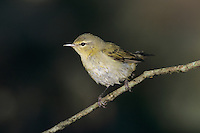 Tennessee Warbler, Vermivora peregrina,adult, South Padre Island, Texas, USA, May 2005