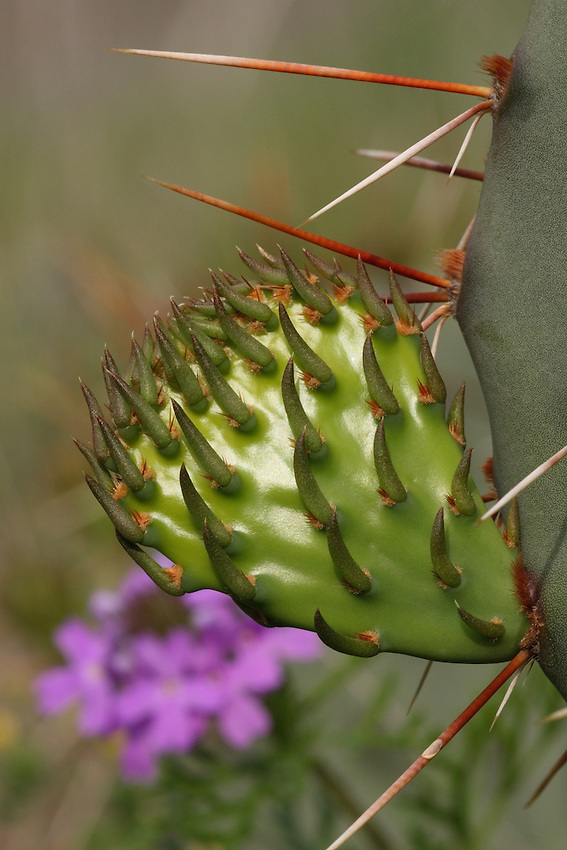 """New growth of the Prickly Pear Cacti, with Verbena Wildflower background. The fruits of most prickly pears are edible and sold in stores under the name """"tuna."""" Prickly pear branches (the pads seen here) are also cooked and eaten as a vegetable."""