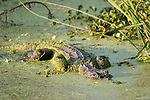 Damon, Texas; a large, adult female American alligator, covered in green algae while partially submerged at the surface the slough, climbing over an obstruction, in late afternoon sunlight