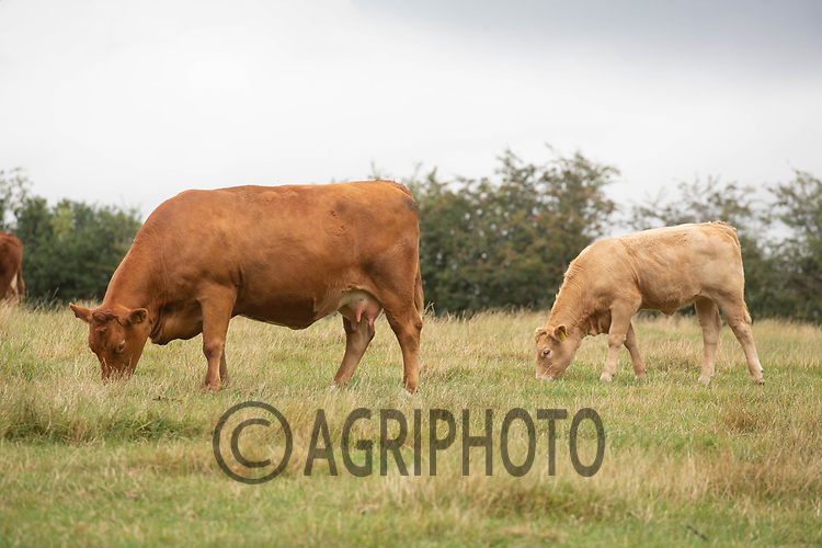 17-8-2021 Beef suckler cows and calves grazing <br /> ©Tim Scrivener Photographer 07850 303986<br />      ....Covering Agriculture In The UK....