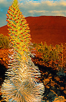 The native silversword with flower bloom in mauna kea, (argyroxiphium s. sanwicense). When in flower the tall rosette of leaves and may reach 3 metres tall.