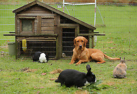 FAO JANET TOMLINSON, DAILY MAIL PICTURE DESK<br />Pictured: One of the dogs in the rabbit enclosure Wednesday 23 November 2016<br />Re: The Dog House in the village of Talog, Carmarthenshire, Wales, UK