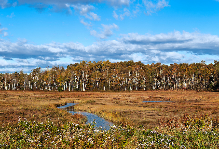 Salt marsh and a stand of birch trees, Lubec, Maine, ME, USA