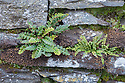 Rustyback Fern {Asplenium ceterach (syn. Ceterach officinarum)} and Maiden-hair Spleenwort {Asplenium trichomanus} growing in a dry stone wall. Ambleside, Lake District National Park, Cumbria, UK. February.