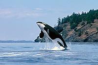 killer whale, or orca, Orcinus orca, adult, breaching, San Juan Islands, Washington, USA, Pacific Ocean