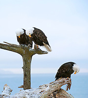 Who really knows why these three American Icons simultaniously lowered their heads during the eagle feeding from Jean Keene's backyard on January 25, 2009, following her memorial service, except to pay a moment of silence in her honor.