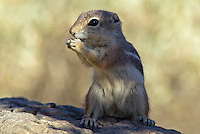 Harris's antelope squirrel (Ammospermophilus harrisii), Sonoran Desert, Arizona.