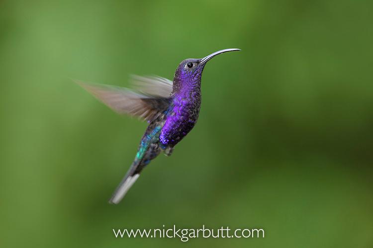 Male Violet Sabrewing (Campylopterus hemileucurus) hovering / in flight. Montane forest, Bosque de Paz, Caribbean slope, Costa Rica, Central America.