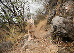 Arabian Caracal (Caracal caracal schmitzi) in cloud forest, Hawf Protected Area, Yemen