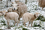 Foto: VidiPhoto<br /> <br /> HETEREN – Niet blij en niet speels. Sneeuw, een ijskoude wind en temperaturen rond het vriespunt. Deze lammetjes langs de Rijndijk bij Heteren hadden zich de lente iets anders voorgesteld. Grote delen van Midden-Nederland werden woensdagnacht- en morgen bedekt met een 5 cm. dikke laag sneeuw. In de loop van de ochtend verdween het sneeuwdek weer door oplopende temperaturen. Hoewel sneeuwbuien wel vaker voorkomen in april, is deze hoeveelheid vrij ongebruikelijk. De laatste keer was in 2009.