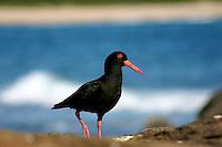 Sooty Oystercatcher on the New South Wales South Coast and Coastal Island bird surveys
