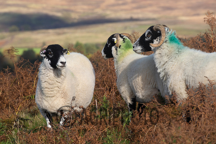6.10.2020 Sheep on the North Yorkshire Moors<br /> ©Tim Scrivener Photographer 07850 303986<br />      ....Covering Agriculture In The