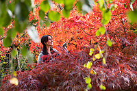 BNPS.co.uk (01202) 558833. <br /> Pic: CorinMesser/BNPS<br /> <br /> Pictured: Alice Skinner admires the colours of the acer palatum omureyama trees. <br /> <br /> Amazing autumn... <br /> <br /> Specialist growers of Japanese maple trees Barthelemy & Co have well and truly seen autumn arrive at their business in Stapehill near Wimborne Dorset.