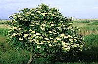 Schwarzer Holunder, Sambucus nigra, Common Elder, Elderberry