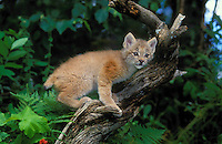 LYNX kitten - four weeks old..Summer. Rocky Mountains..(Felis lynx canadensis).