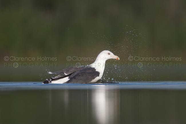 Great Black-backed Gull (Larus marinus) bathing, East Pond, Jamaica Bay Wildlife Refuge