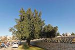 T-076 Laurel tree on Mount Scopus