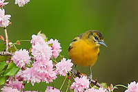 Female Baltimore Oriole or Northern Oriole (Icterus galbula) perched on flowering tree limb.  Great Lakes Region.  Spring.