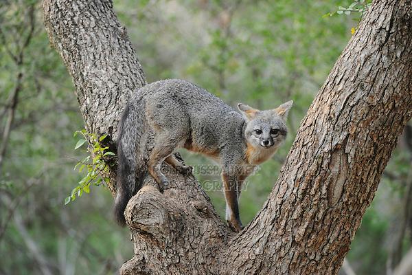 Gray Fox (Urocyon cinereoargenteus), adult climbing Cedar Elm (Ulmus crassifolia), New Braunfels, San Antonio, Hill Country, Central Texas, USA