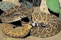 1R15-001b  Western Diamondback Rattlesnake - Crotalus atrox