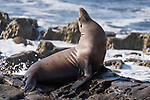 La Jolla, California; a California Sea Lion warms up in the late afternoon sun on a rocky shoreline alongside the Pacific Ocean