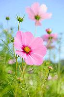 Cosmos bipinnatus 'Versailles Dark Rose'