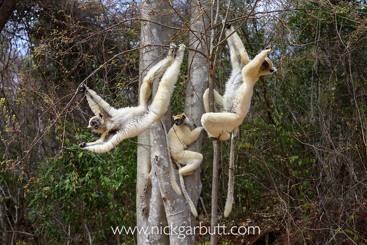 A group of Golden-crowned Sifakas or Tattersall's Sifakas (Propithecus tattersalli) feeding in forests near Andranotsimaty, Daraina, north east Madagascar. IUCN: Critically Endangered.