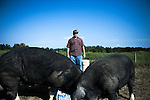 September 13, 2007, Louisburg, NC..Michael Jones, owner of Mae Farms, a sustainable hog farm, feeds his male stud hogs. They are kept in a separate pen from the other hogs except when breeding. Jones worked in standard hog farming before going out on his own with this free range, sustainable model. Jones spends the morning walking the farm and checking on the various pens throughout the property.