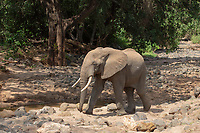 African Elephant, Loxodonta africana, walks beside a rocky stream in Lake Manyara National Park, Tanzania