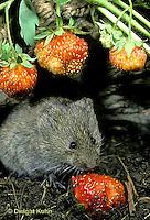 MU30-064z  Meadow Vole - eating strawberries - Microtus pennsylvanicus