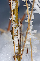 Gemeine Winterlibelle, Überwinterung bei Eis und Schnee als Imago, Winter-Libelle, Sympecma fusca, Common Winter Damselfly, Common Winter Damsel, overwinter survival, hibernation, snow, Le leste brun, brunette hivernale