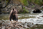 Grizzly Bear (Ursus arctos horribilis) cub (7 months). Atnarko River, Tweedsmuir Park, British Columbia, Canada