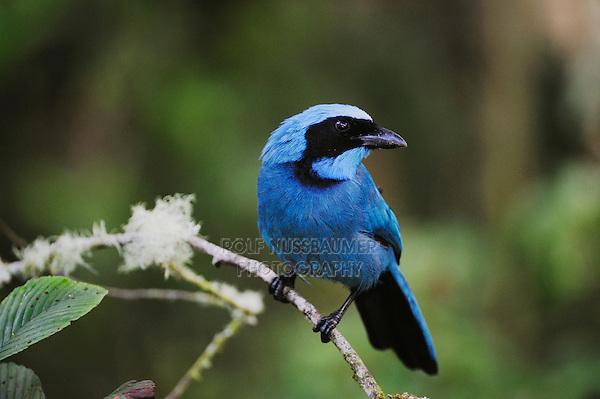 Turquoise Jay (Cyanolyca turcosa), adult,Papallacta, Ecuador, Andes, South America