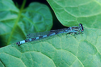 Vogel-Azurjungfer, Vogelazurjungfer, Männchen, Coenagrion ornatum, Ornate Bluet, male, Agrion orné