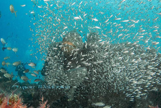 Atlantic goliath grouper, bait fish, endangered species, Epinephelus itajara, Goliath Groupers and bait balls, itajara, IUCN Red List vulnerable, jewfish, sardines, spawning event, MG111, Jupiter, FL