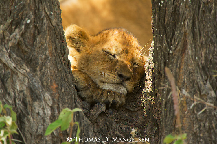 A lion cub sleeps in the crook of a tree in the Ngorongoro Conservation Area in Tanzania.