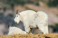 Mountain Goat Billies (Oreamnos americanus) in the Beartooth Mountains of Southern Montana/Northern Wyoming.  Late Sept.