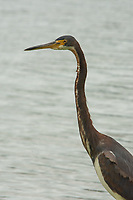 Tricolored Heron (Egretta tricolor), Windsor, Vero Beach, Florida, US